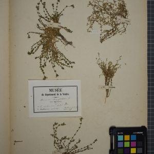 Photographie n°1246262 du taxon Arenaria serpyllifolia L. [1753]