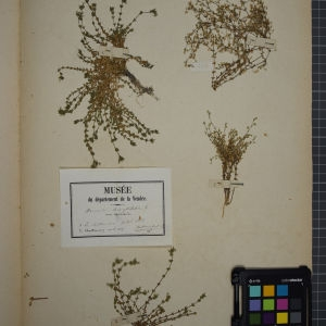 Photographie n°1246263 du taxon Arenaria serpyllifolia L. [1753]