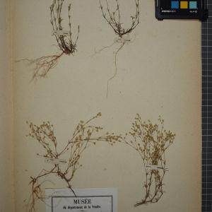 Photographie n°1246272 du taxon Arenaria tenuifolia L. [1753]