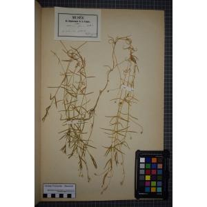Stellaria palustris Retz. (Stellaire des marais)
