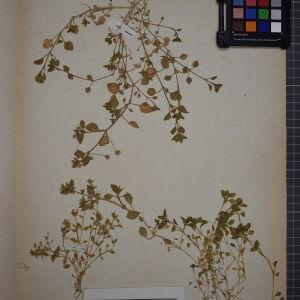 Photographie n°1246294 du taxon Stellaria media (L.) Vill. [1789]