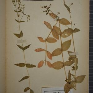 Photographie n°1246318 du taxon Malachium aquaticum (L.) Fr. [1817]