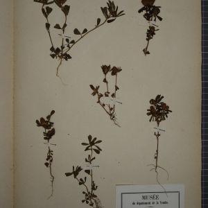 - Trifolium bocconei Savi