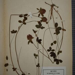 Photographie n°1246389 du taxon Trifolium pratense L. [1753]