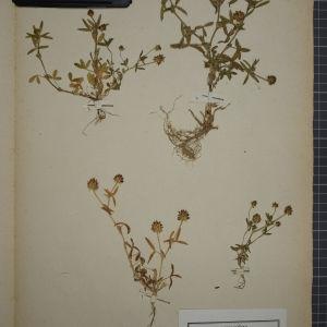 Photographie n°1246399 du taxon Trifolium strictum L. [1755]