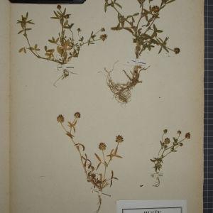 Photographie n°1246401 du taxon Trifolium strictum L. [1755]