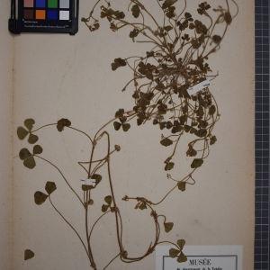Photographie n°1246403 du taxon Trifolium subterraneum L. [1753]