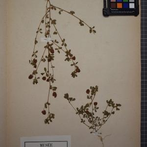Photographie n°1246409 du taxon Trifolium agrarium L. [1753]
