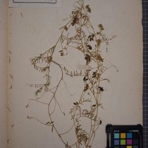 Photographie n°1246449 du taxon Ervum hirsutum L. [1753]
