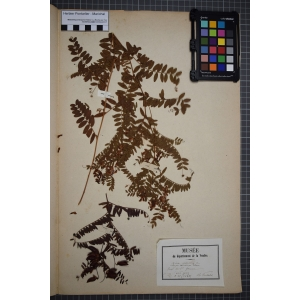 Vicia cassubica L. (Vesce de Poméranie)