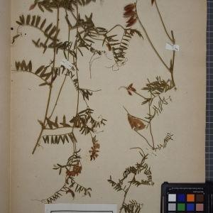 Photographie n°1246453 du taxon Vicia cracca L. [1753]