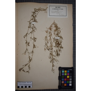 Ervum tetraspermum L. (Cicérole)