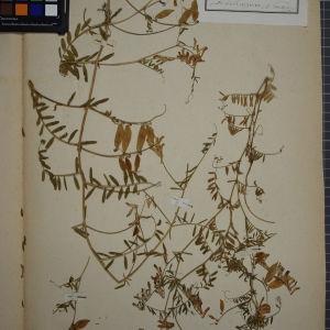 Photographie n°1246463 du taxon Vicia varia Host [1831]