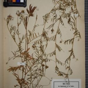 Photographie n°1246474 du taxon Vicia segetalis Thuill. [1799]