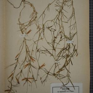 Photographie n°1246480 du taxon Lathyrus angulatus sensu All.