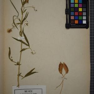 Photographie n°1246491 du taxon Lathyrus sativus, L.