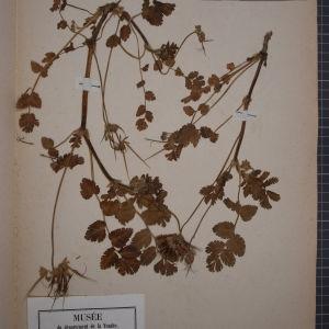 Photographie n°1246502 du taxon Erodium moschatum (L.) L'Hér. [1789]