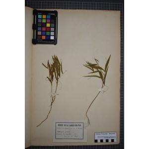 Lathyrus palustris L. (Gesse des marais)