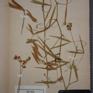 Photographie n°1246521 du taxon Lathyrus sylvestris L. [1753]