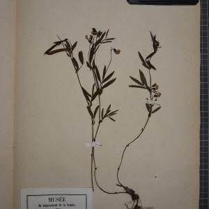 Photographie n°1246532 du taxon Orobus tuberosus L. [1753]