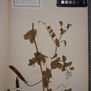 Photographie n°1246535 du taxon Pisum tuffetii, Lesson