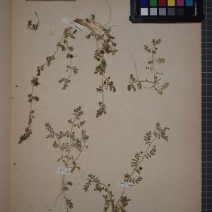 Photographie n°1246543 du taxon Tribulus terrestris L. [1753]