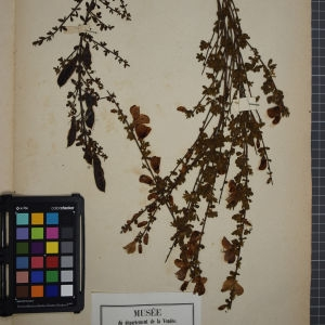 Photographie n°1246566 du taxon Sarothamnus scoparius (L.) Wimm. ex W.D.J.Koch [1837]