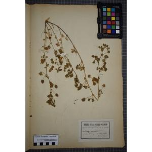 Medicago polymorpha var. brevispina (Benth.) Heyn
