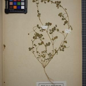 Photographie n°1246588 du taxon Medicago denticulata Willd. [1802]