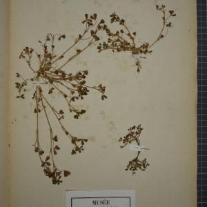 Photographie n°1246610 du taxon Trigonella ornithopodioides (L.) DC. [1805]