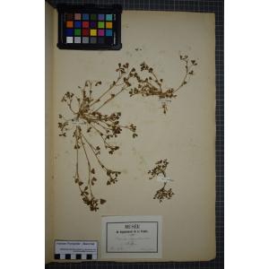 Trifolium ornithopodioides L. (Trèfle faux pied-d'oiseau)