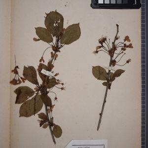 Photographie n°1246674 du taxon Prunus avium (L.) L. [1755]