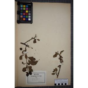 Prunus domestica subsp. insititia (L.) Bonnier & Layens (Prunier à greffer)