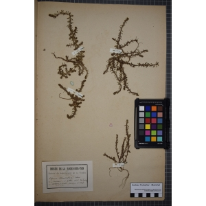 Lythrum tribracteatum Salzm. ex Spreng. (Lythrum à trois bractées)