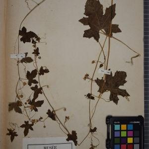 Photographie n°1246694 du taxon Bryonia dioica Jacq. [1774]