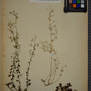 Photographie n°1246737 du taxon Sedum cepaea L. [1753]