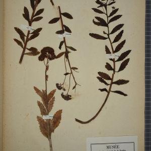 Photographie n°1246739 du taxon Sedum fabaria W.D.J.Koch [1837]