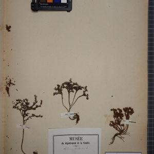 Photographie n°1246752 du taxon Sedum rubens L. [1753]