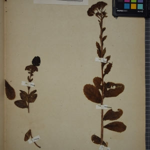 Photographie n°1246756 du taxon Sedum telephium L. [1753]