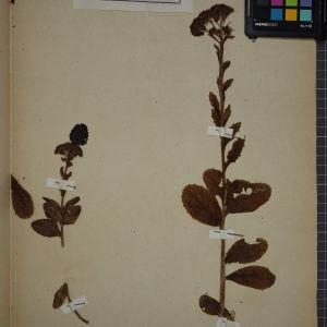 Photographie n°1246758 du taxon Sedum telephium L. [1753]