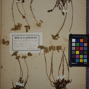 Photographie n°1246763 du taxon Sedum albescens Haw. [1821]