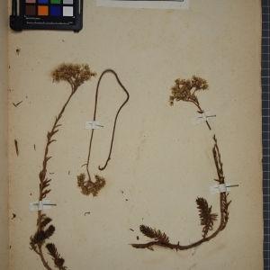 Photographie n°1246770 du taxon Sedum reflexum L. [1755]