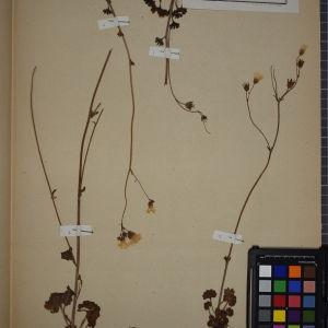 Photographie n°1246774 du taxon Saxifraga granulata, L.