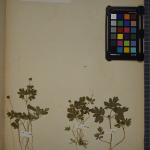 Photographie n°1246791 du taxon Adoxa moschatellina L. [1753]