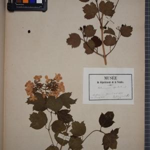 Photographie n°1246806 du taxon Viburnum opulus L. [1753]
