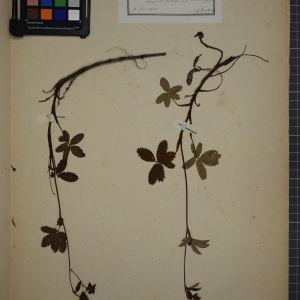 Photographie n°1246819 du taxon Comarum palustre, L.