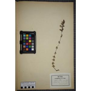 Galium x pomeranicum Retz. (Gaillet de Poméranie)