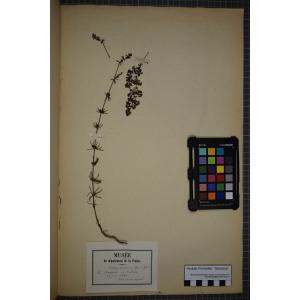 Galium verum subsp. wirtgenii (F.W.Schultz) Oborny (Gaillet de Wirtgen)