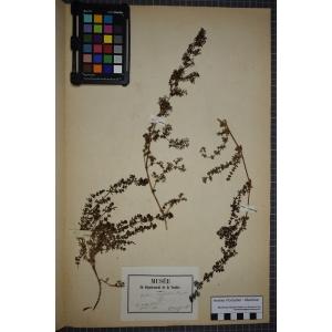 Galium neglectum Le Gall ex Gren. (Gaillet négligé)