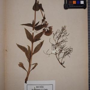 Photographie n°1246883 du taxon Centranthus latifolius Dufr. [1811]